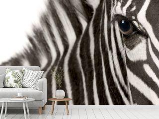 Zebra (4 years)