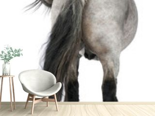Belgian horse, Belgian Heavy Horse, Brabancon, a draft horse breed, standing in front of white background