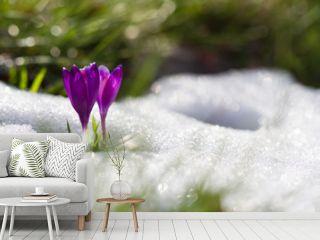 Wild spring flower crocus growing from snow in wildlife. Beautiful spring flower in sunlight growing wild