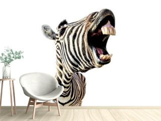 zebra with open mouth and big teeth isolated on white background
