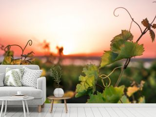 vineyards and a vine at sunset