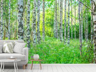 Summer birch forest view from Sotkamo, Finland.