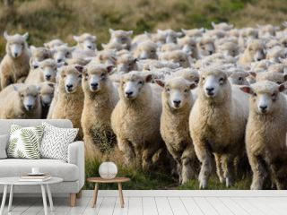 Sheep on Road trip in New Zeland