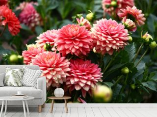Pink dahlias./In a flower bed a considerable quantity of flowers dahlias with petals in various tones of pink color.