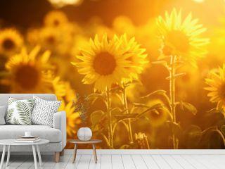field of sunflowers in evening backlight