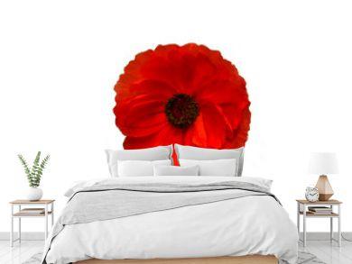 wild poppy flower on the white background.