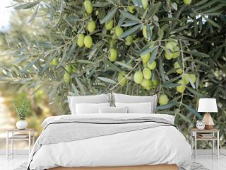 Olive tree branches with green olives before harvesting.