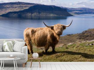 Highland Cow, Isle of Mull. Highlands, Scotland