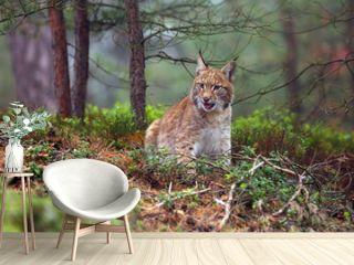 The Eurasian lynx (Lynx lynx), also known as the European lynx or Siberian lynx in autumn colors in the pine forest.