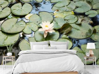 water lilies pink flowers, beautiful water lilies