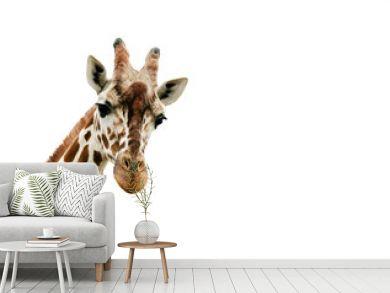 Giraffe looking into the camera, close up