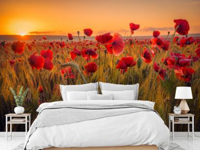 Amazing beautiful multitude of poppies growing in a field of wheat at sunrise with dew drops