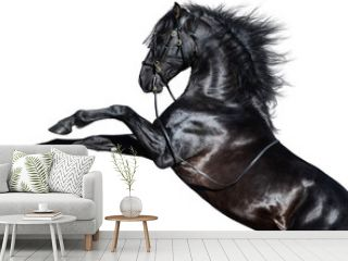 Black Andalusian horse rearing. Isolated on white background.