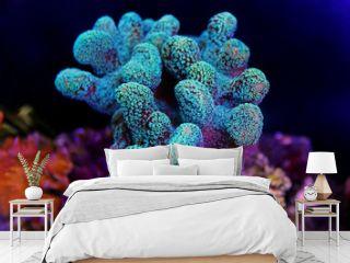 Stylophora colorful SPS coral in saltwater aquarium reef tank