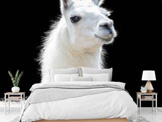 Portrait of a white llama Lama glama isolated on black background