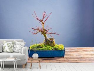 Japanese bonsai tree in pot on grey background.