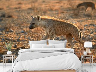 Close up, panoramic photo of Spotted hyena, Crocuta crocuta with upright, backlighted mane, two hyenas running on early morning dry savanna. Wildlife photography in Etosha national park, Namibia.