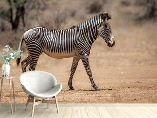 Grevy zebra in the dry Samburu National Park in Kenya