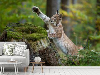 Junger Luchs mit ausgestreckter Pfote am Baumstumpf
