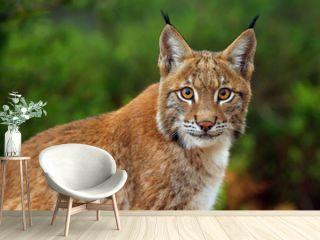 The Eurasian lynx (Lynx lynx), portait. Siberian lynx portait.