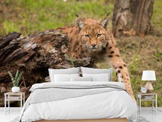 Van achter een boomstronk komt een lynx geslopen