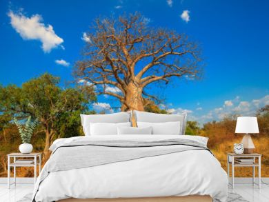 Landscape of Baobab tree in Musina Nature Reserve, one of the largest collections of baobabs in South Africa. Game drive in Limpopo Game and Nature Reserves. Sunny day with blue sky. Dry season.