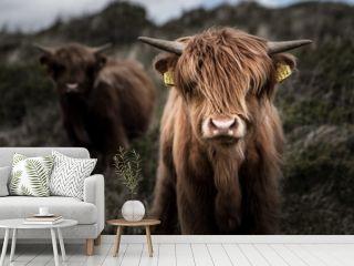 Kuh in Niederlanden