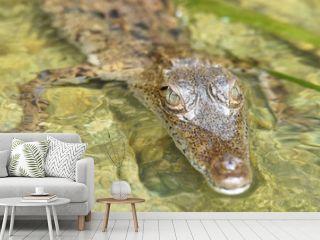Young crocodile (Crocodylus acutus ) in its habitat waters in wild Panama rain forest river.