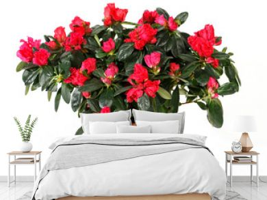 Azaleas in pot isilated on white background. Azaleas are flowering shrubs in the genus Rhododendron, particularly the former sections Tsutsuji  and Pentanthera.