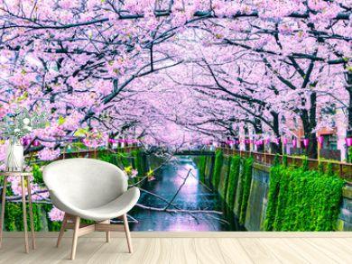 Beautiful Sakura or Cherry blossoms at Meguro river in Tokyo, Japan