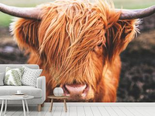 Highland cow cattle head face hair horns in Scotland