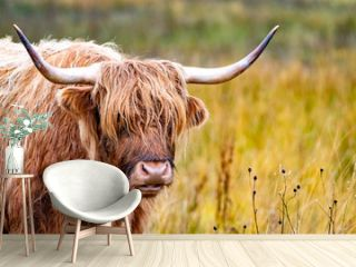 Highland cattle - Bo Ghaidhealach -Heilan coo - a Scottish cattle breed with characteristic long horns and long wavy coats on the Isle of Skye in the rain , Highlands of Scotland