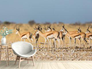 springbok herd (antidorcas marsupialis) standing in savanna in sunshine