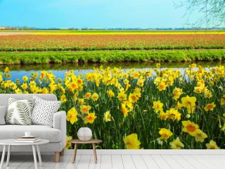 Yellow daffodils. Spring Dutch landscape.