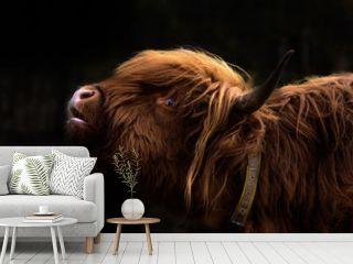 Schottisches Hochlandrind / Bos Taurus / Highland Cattle