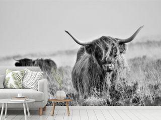 Hardy Highland cow on Exmoor, Somerset