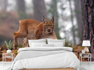 The Eurasian lynx (Lynx lynx), also known as the European or Siberian lynx in autumn colors in the pine forest.