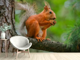 common red squirrel sitting on a branch of a large coniferous tree and nibbles a nutlet