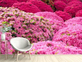 Pink azalea flowers in Japanese garden 日本庭園のツツジの花