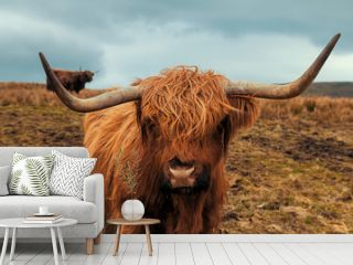Scottish Hairy Cow