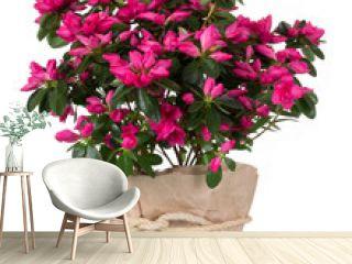 Luxury azalea flower pink in pot isolated on white background