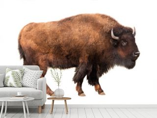 bison isolated on white
