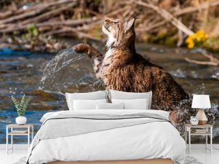 Eurasian lynx (lynx lynx) hunting in river in wild nature, Slovakia