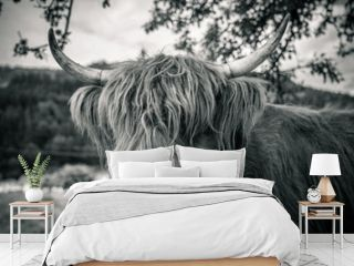 highland cow in kinzig valley in black forest, germany