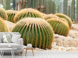 Echinocactus grusonii or a golden bucket. A beautiful cactus garden arrangement.
