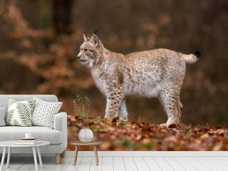 The Eurasian lynx (Lynx lynx) a young lynx resting in a forest. Autumn scene with a big european cat. Portrait of a cat predator. Portrait of a young lynx.