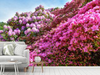 Rhododendron in verschiedenen Farben und unterschiedlichen Sorten