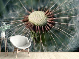 Dandelion.  Dandelion seeds close up.  Soft focus