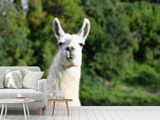 Portrait of a Llama in nature