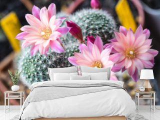 Blooming light pink flower of Rebutia carnival cactus